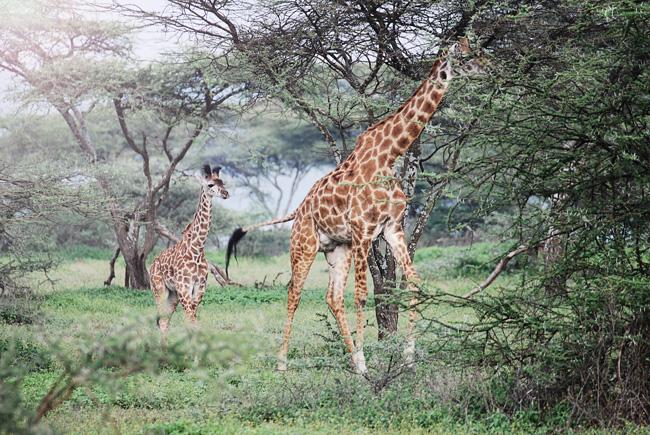 serengeti 022
